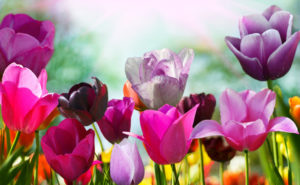 Beautiful spring flowers, tulips