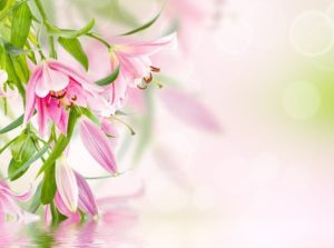 32566157 - pink lilies background